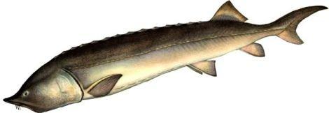 Изображение рыбы Белуга