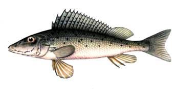 Изображение рыбы Ёрш носарь