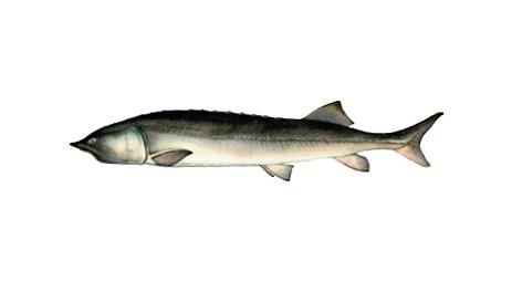 Изображение рыбы Калуга