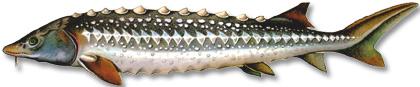 Изображение рыбы Осётр персидский