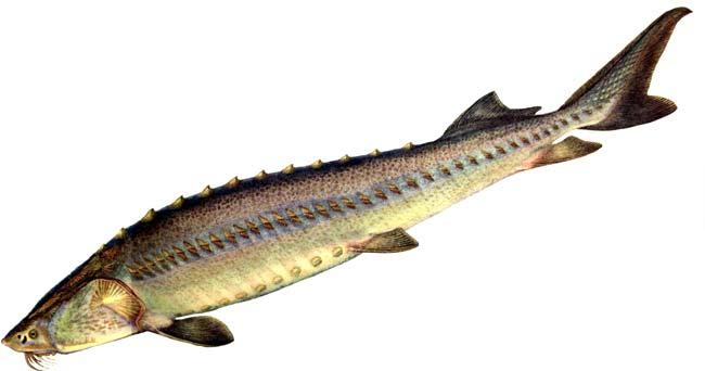 Изображение рыбы Осётр сибирский