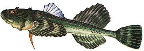 Изображение рыбы Бычок подкаменщик