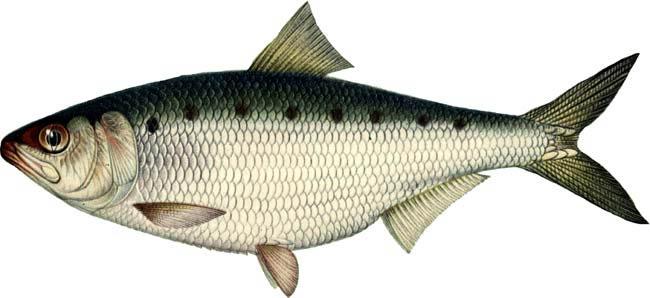 Изображение рыбы Сельдь черноморская