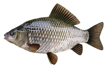 русская рыбалка прикормка для плотвы