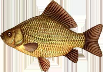 золотой толстолобик на ростовском море