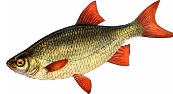 толстолобик какая рыба речная или морская