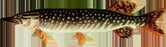 толстолобик какая рыба